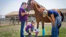 Veterinary Technology students practice bandaging skills during their Equine Lab at Cal Poly Pomona.